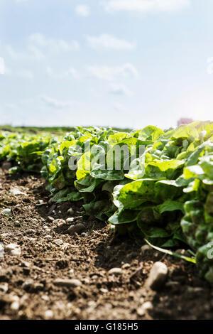 Prêt pour la récolte de laitue dans ferme bio Photo Stock