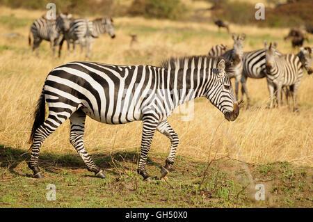 Zoologie / animaux, des Mammifères (Mammalia), le zèbre (Equus quagga) près de la grande migration Photo Stock