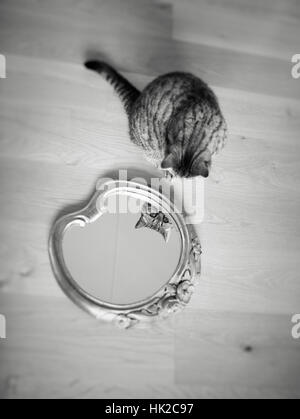 Cat en se regardant dans le miroir. Animal ludique que d'admirer sa propre apparence. Photo Stock