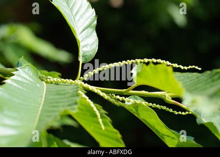 Fleur de châtaignier arbre feuilles d'étamines mâles Photo Stock