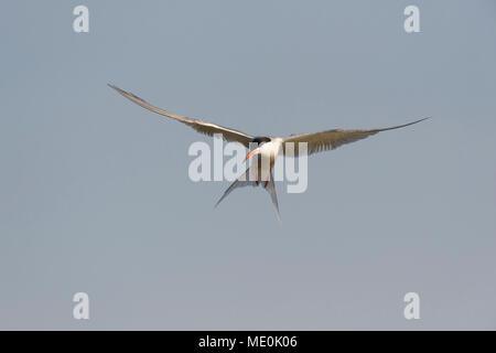 Vue frontale d'une sterne pierregarin (Sterna hirundo) en vol, contre un ciel gris ensoleillé sur le lac Neusiedl en Burgenland, Autriche Photo Stock