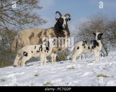 Jacob brebis et agneaux dans la neige, à Preston, Longridge, Lancashire. Photo Stock