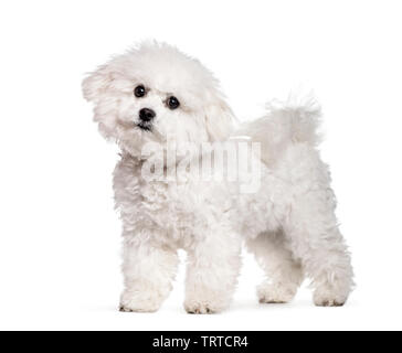 Bichon Frise standing against white background Photo Stock