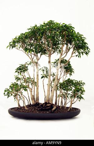 Bonzai bonsai Chinese Chine Japon orient orient oriental de l'Est Photo Stock