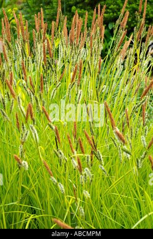 Graines floraison vert gazon prairie sauvage fleur de champ extérieur naturel botanique botanique rural campagne Photo Stock