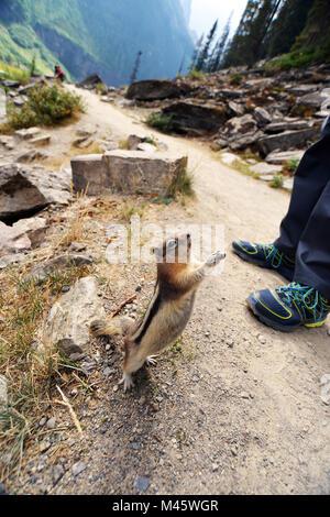 Le tamia rayé dans les Rocheuses canadiennes implore pour avoir de la nourriture auprès des touristes, Photo Stock