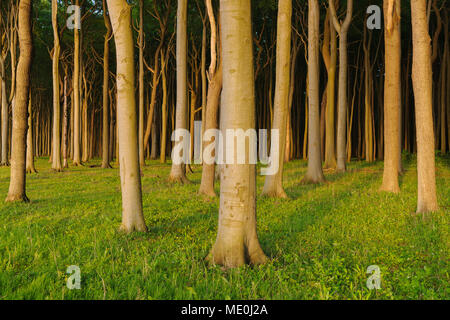 Les hêtres en forêt au coucher du soleil dans la forêt des fantômes (Gespensterwald) à Rostock, Mecklembourg-Poméranie-Occidentale, Allemagne Photo Stock