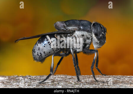 "Botfly, Cuterebra arizonae, Arizona (3/8"" de long) Photo Stock"