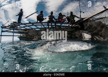 Les pêcheurs locaux sur bagan (bateau de pêche avec filets et plate-forme) avec un requin baleine, Cenderawasih Bay, Guinée (Rhincodon typus) Photo Stock