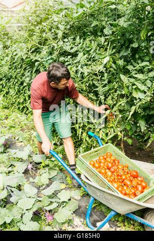 Agriculteur avec brouette de tomates en ferme biologique Photo Stock