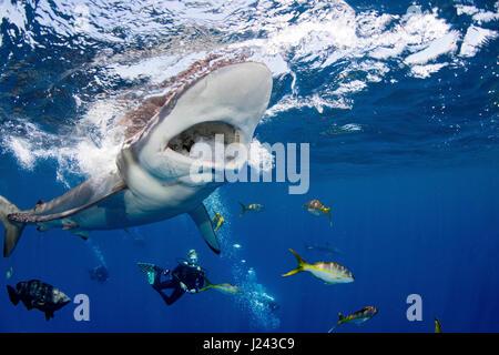 Les amateurs de plongée sous-marine avec le requin soyeux Photo Stock