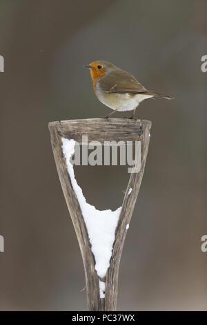 European Robin (Erithacus rubecula aux abords) adulte, perché sur le couvert de neige pelle poignée, Suffolk, Angleterre, Royaume-Uni, février Photo Stock