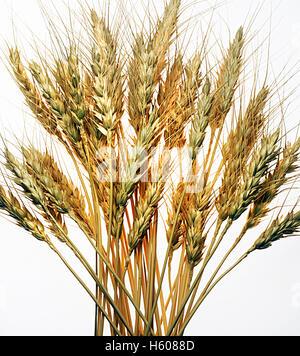 blé Photo Stock