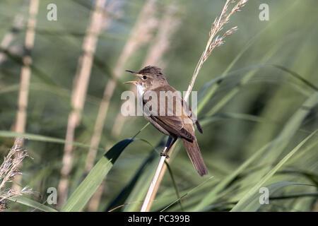 Reed Warbler chant adultes sur les roseaux Photo Stock