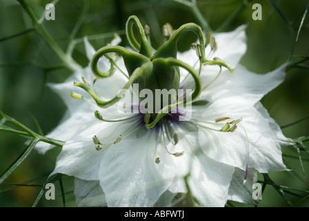 L'amour dans un brouillard blanc Nigella damascena macro close up detail capitule annuel symbole de l'amour Photo Stock