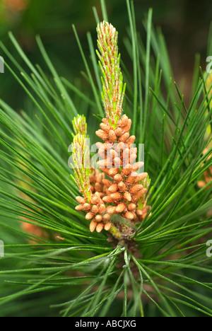 Pin pin mâle Fleur Fleur Fleur botanique plante aiguille macro close close-up libre forêt de conifères Photo Stock