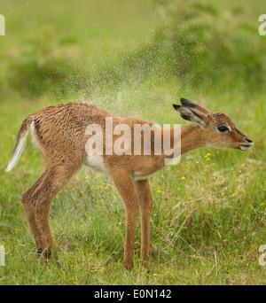 Bébé Impala secouant fourrure humide, Parc national du lac Nakuru, Kenya (Aepyceros melampu) Photo Stock