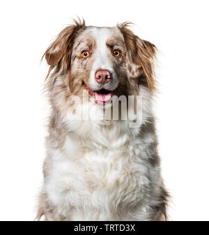 Border Collie , 2 ans, looking at camera against white background Photo Stock