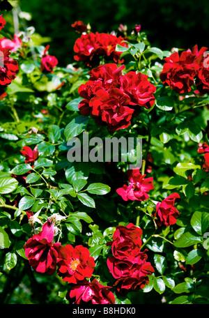 La floraison des roses rouges Photo Stock
