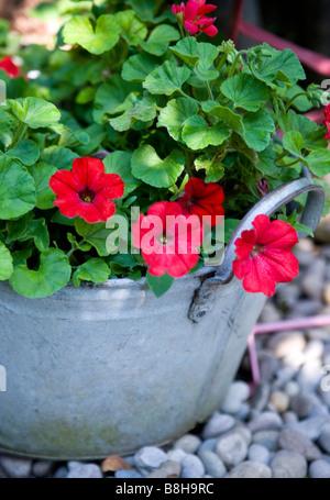 Géranium Pelargonium Photo Stock