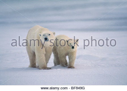 Mère de l'ours polaire et les jeunes, Ursus maritimus, Hudson Bay, Canada Photo Stock