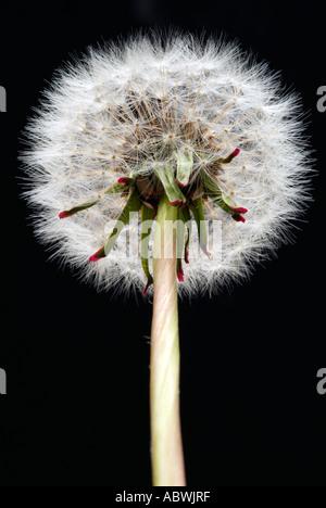 Le pissenlit taraxacum chef fond noir fleur sauvage herbe semences prairie fruit mûr flotter voler la lumière de sucre blanc sec Photo Stock