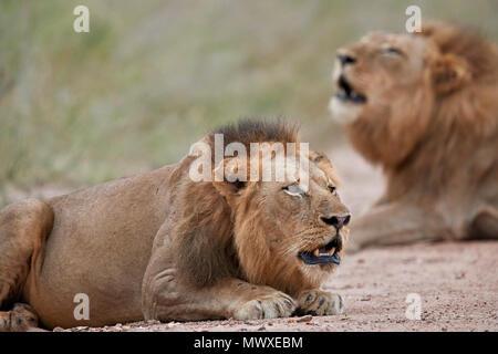Deux male lion (Panthera leo) roaring, Kruger National Park, Afrique du Sud, l'Afrique Photo Stock