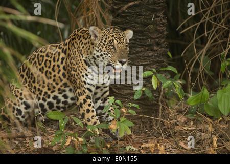 Jaguar le long de la rivière, Pantanal, Brésil, Amérique du Sud (Panthera onca) Photo Stock