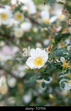 Unwich Rosa spinosissima 'rose'. Wild Rose Photo Stock