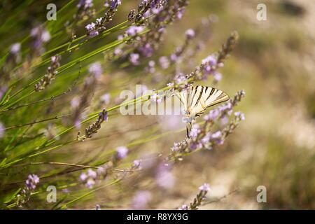 France, Drôme, Vercors, Diois, Saillans, réserve faunique de Grand Barry, papillon machaon Rare: Photo Stock