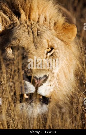 Snarling Male lion (Panthera leo) dans l'herbe haute. La Namibie. Photo Stock