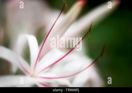 Close up of Spider Lily (Crinum asiaticum. Kauai, Hawaii Photo Stock