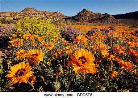 La floraison de marguerites namaqua, Namaqualand, Goegap Nature Reserve, Afrique du Sud Photo Stock
