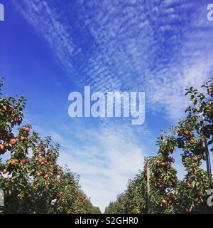 Apple orchard et ciel bleu Photo Stock