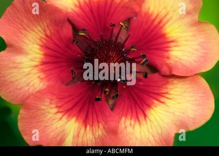 Geum Mme Bradshaw fleur plante vivace closeup macro close up detail jardin flowerhead pétales UK Angleterre Photo Stock