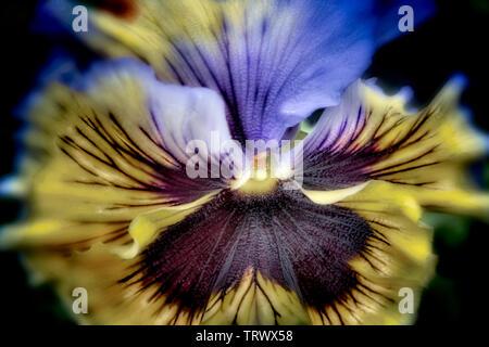 Close up de Pansy flower. Oregon Photo Stock