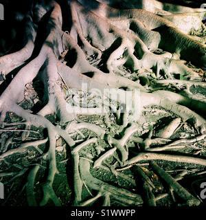 Les racines des arbres, Sevilla, Espagne Photo Stock