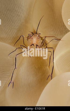 Une bulle de crevettes de corail à la bulle des coraux, la Malaisie (vir philippinensis) Photo Stock