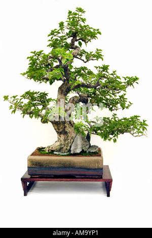 Modèle vertical informel bougainvillea 1920 bonzai bonsai Chinese Chine Japon orient orient oriental de l'Est Photo Stock