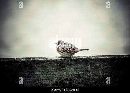 Petit oiseau très froid en hiver froid. Petit moineau assis sur la clôture. Photo Stock