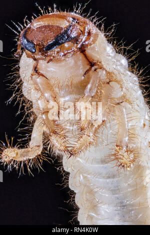 Hanneton vert au stade larvaire, Cotinis nitida 2X Photo Stock