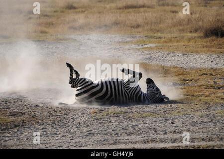 Zoologie / animaux, des Mammifères (Mammalia), le zèbre (Equus quagga) lors de bain de sable, Ngorongoro Photo Stock