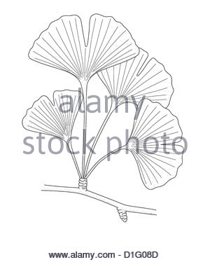 ILLUSTRATION - Ginkgo biloba Photo Stock