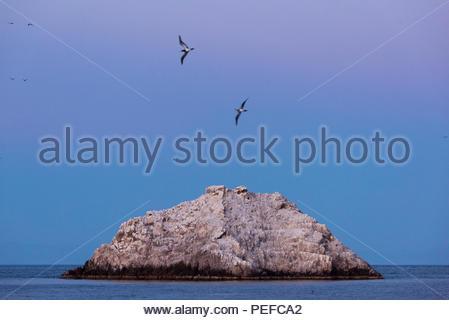 Blue Footed boobies volant près de San Pedro Martir. Photo Stock