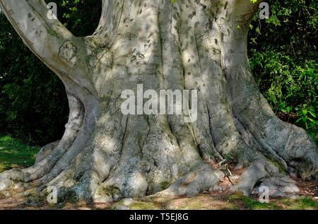 Grand old weathered tronc de l'arbre dans le jardin, Norfolk, Angleterre Photo Stock