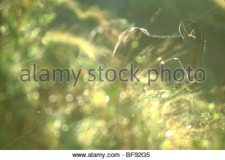 Sur la pente de montagne Nilgiri tahr, Nilgiritragus hylocrius Eravikulum, National Park, Western Ghats, India Photo Stock