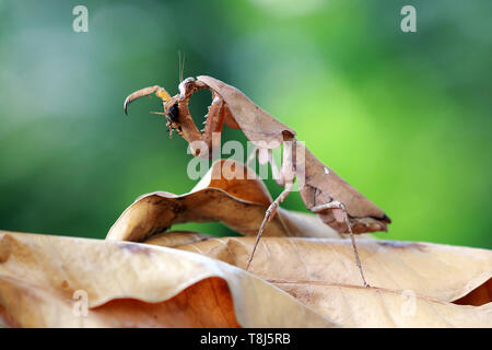 Feuille morte camouflage mantis sur les feuilles séchées, Indonésie Photo Stock