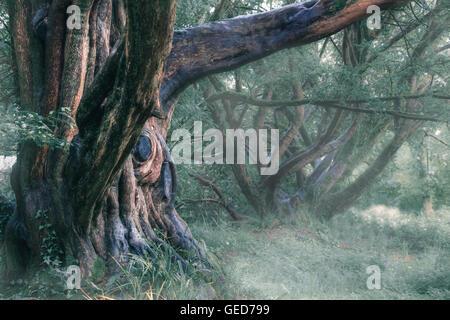 Un vieil arbre mystique, dans le brouillard Photo Stock