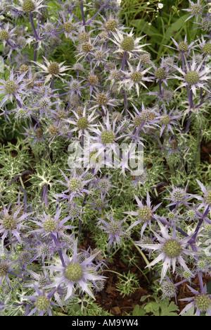 Eryngium bourgatii chardon bleu oxford holly mer desséchée arides sèches résistantes à la sécheresse à faible pluviométrie plage côtière wat sel Photo Stock