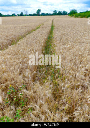 Champ de blé dans le Berkshire. Photo: Tony Gale Photo Stock
